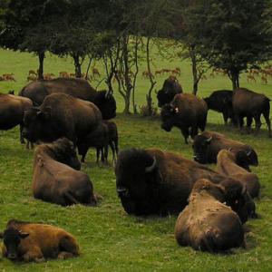 reve de bisons