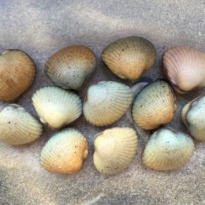les coques de cabourg sur la plage